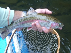 One of the many fine dry fly rainbows from last night.
